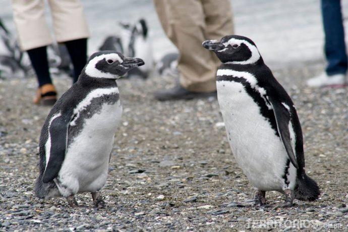 Pinguin Magallánico