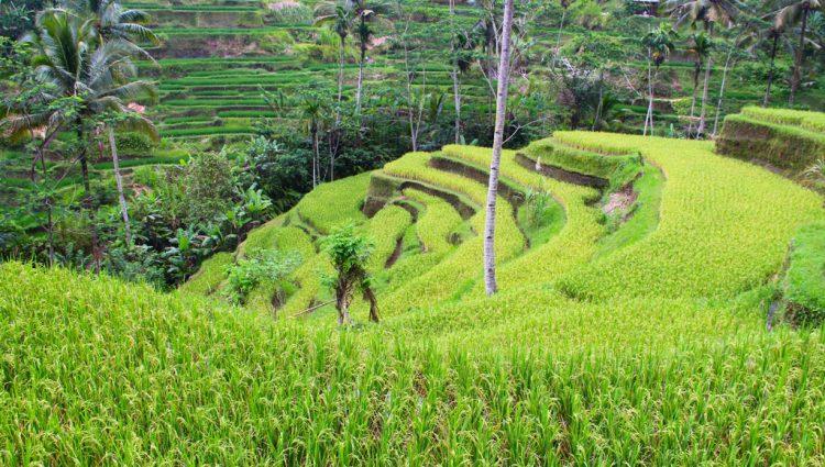 Tegalalang, Bali - Indonesia