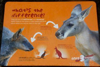 A diferença entre alguns marsupiais