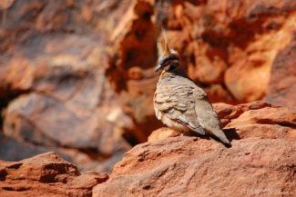 pomba no outback