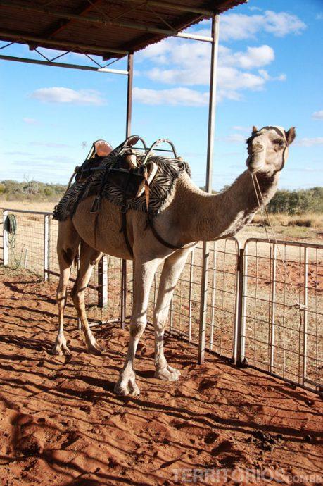 Camelo gigante