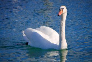 Cisnes são comuns emtodos os lagos