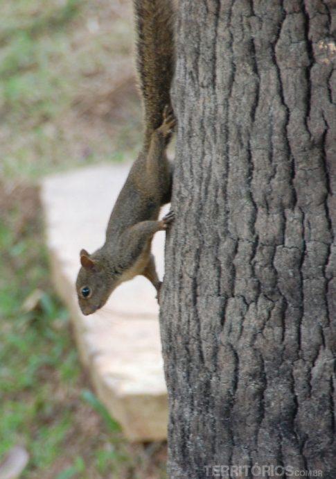Esquilo ligeiro