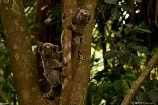 Micos na Trilha do Silêncio, no Pico do Jaraguá
