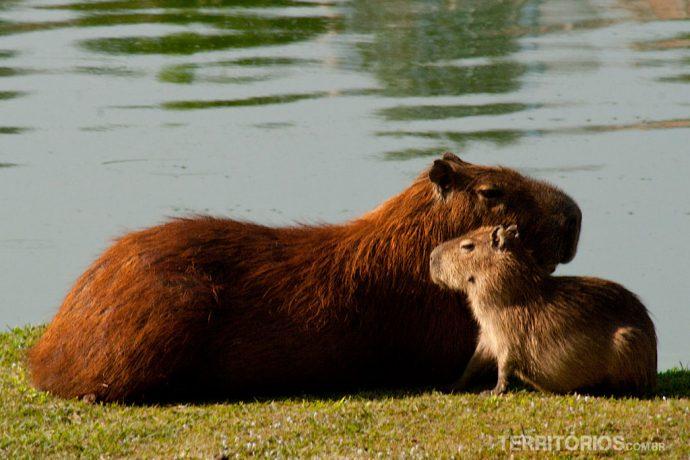 Capivaras no lago Pampulha