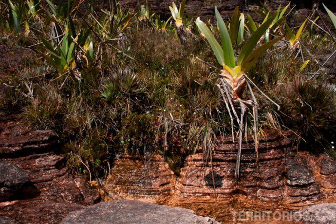 Fontes de água e stegolepis guianenses,a planta predominante