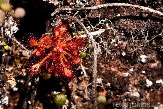Drossera roraimae, pequena planta carnívora