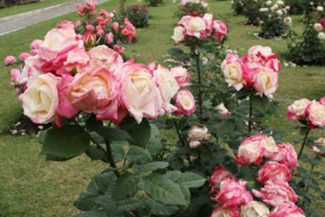 Rosas de Roma