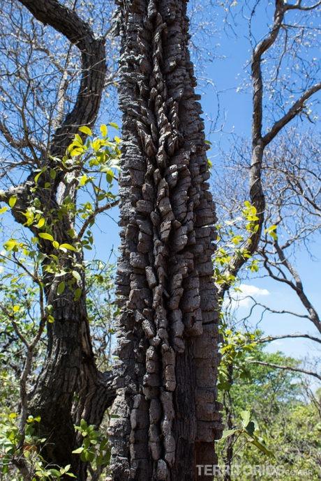 Casca das árvores