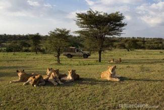 Leões parecem não se importar com a nossa presença, mas o motorista deixa o carro pronto para fugir em caso de imprevisto. Em Maasai Mara