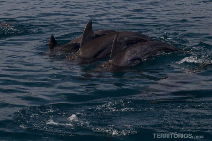 Golfinhos acompanham o barco no Kisite Mpunguti Marine Reserve