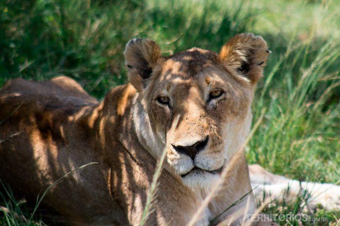 A Leoa em Maasai Mara