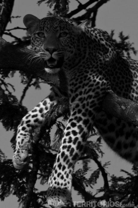 Leopardo no Maasai Mara