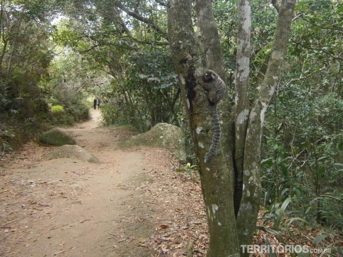 Mico-leão na trilha curta para Lopes Mendes