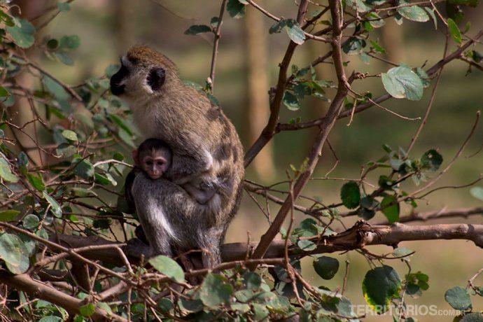 Mamãe babuína agarrada no seu bebê
