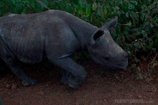 Lewa tema maior concentração de rhinos em todo mundo