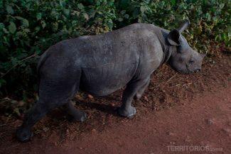 Rinoceronte órfão em Lewa