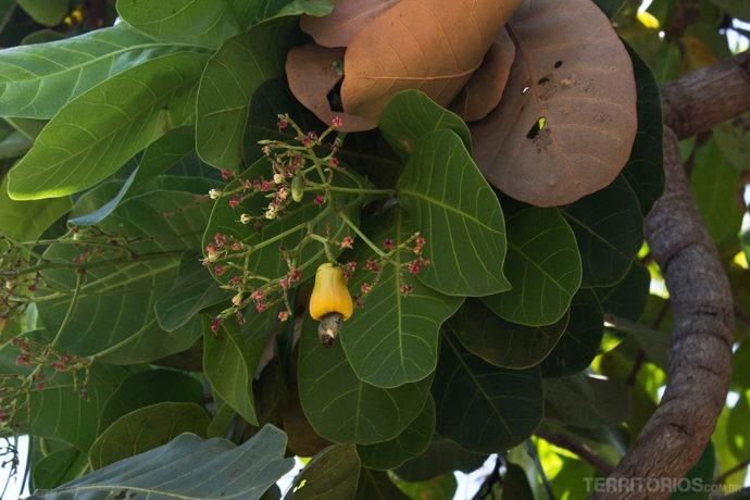 Caju e cajueiro no Jalapão, Tocantins, Brasil