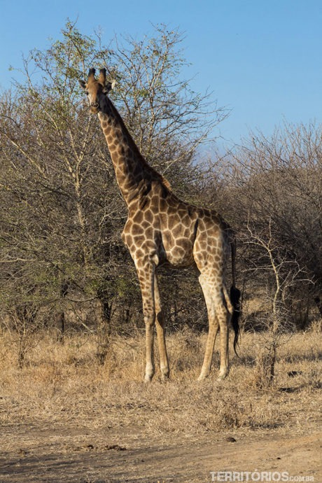 animais africanos: girafa na África do Sul
