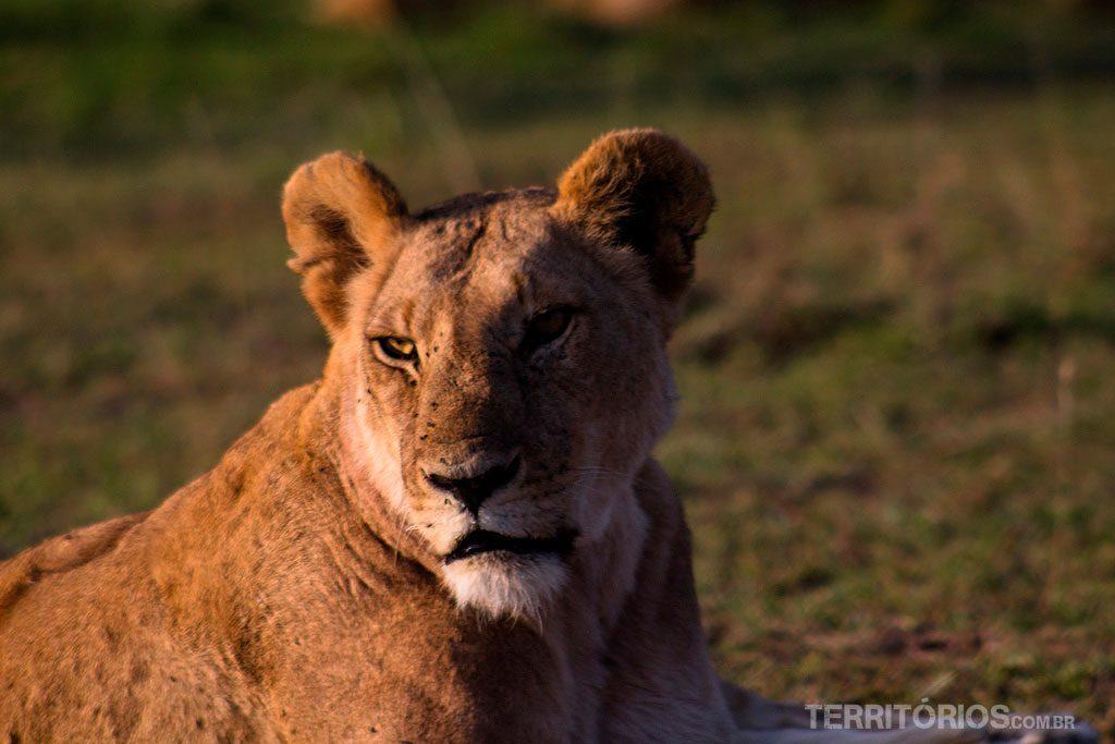 Leoa em Maasai Mara