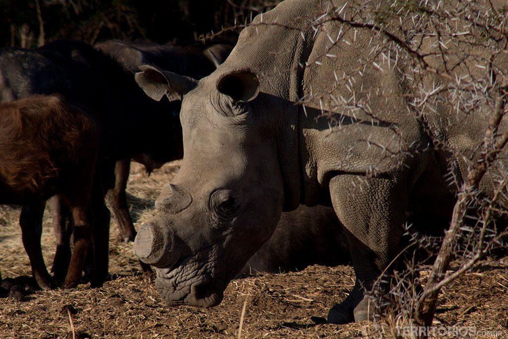 Rinocerontes mutilados perto do Kruger Park