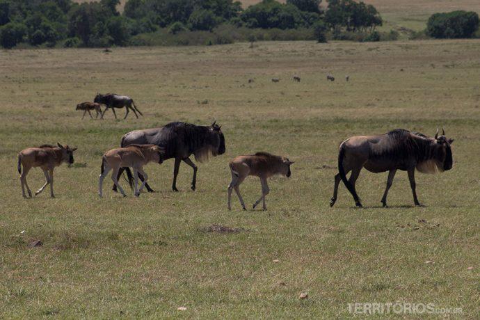 Família de Gnus em Massai Mara, nos meses de agosto e setembro eles são a maioria no parque