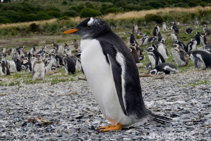 Pinguins na Patagônia Argentina