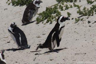 pinguins em Cape Town
