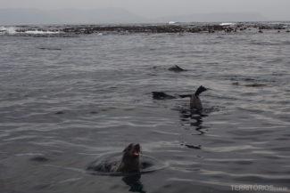 Lobos marinhos