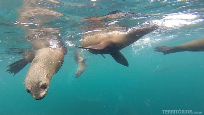 Lobos marinhos no seu habitat natural