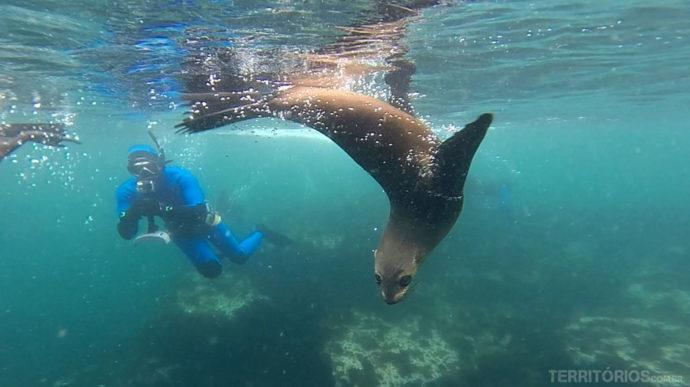 Mergulho com lobos marinhos