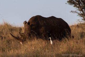 Rinoceronte negro ameaçado de extinção