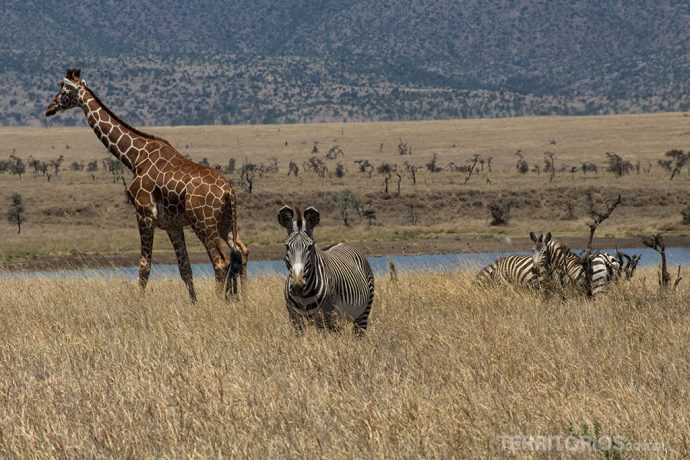 Girafa e zebra grevy