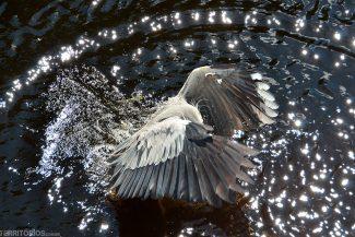 Garça mergulha na água para pegar o seu alimento