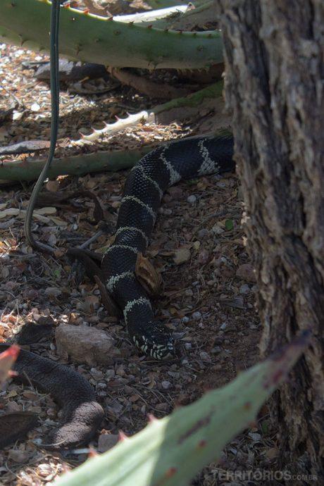 Cobra não venenosa no meio do jardim