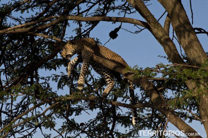 Leopardo em Maasai Mara