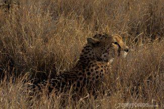 Cheeta em Lewa
