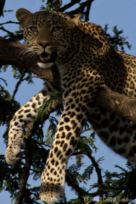 Leopardo em Maasai Mara - Quênia