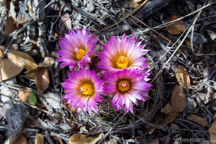 Cactos em flores