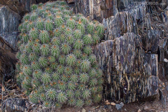 Cactos e pedra de origem vulcânica na floresta
