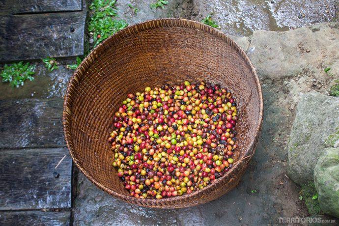 Cafés colhidos são servidos aos luwaks
