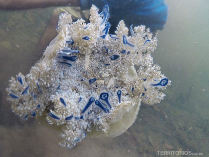Alga azul hospedeira na mão d'água