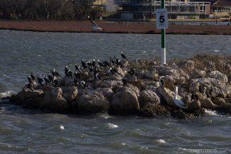 Pelicano e mergulhões
