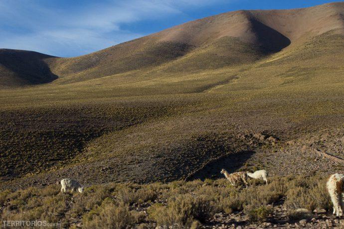 Região mais verde cheia de lhamas