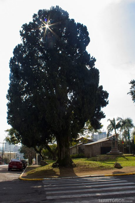 Cipreste Farroupilha é símbolo da cidade