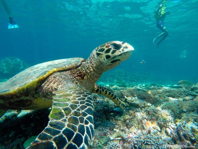 Tartarugas são vistas com frequência durante o snorkel