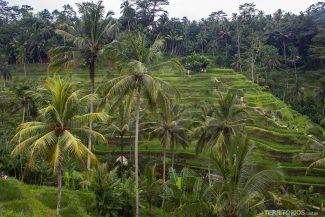 Terraço de arroz em Ubud, Bali