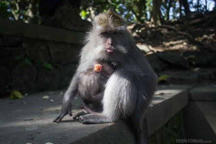 Macaco bota a língua e segura filhote