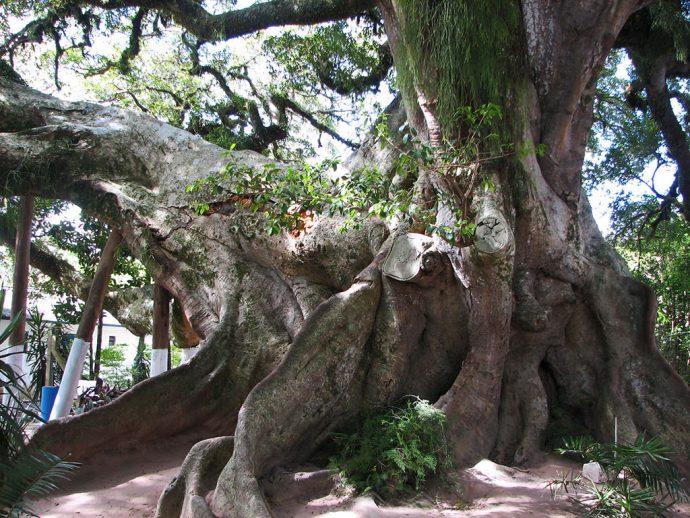 Figueira da Paz - árvore originária da mata atlântica é encontrada em abundância na volta daLagoa dos Patos