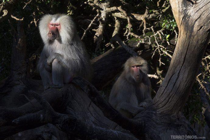 Macacos vindos da África